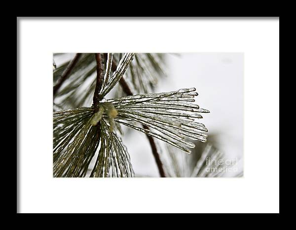 Nature Framed Print featuring the photograph Icy Pines by Robin Lynne Schwind
