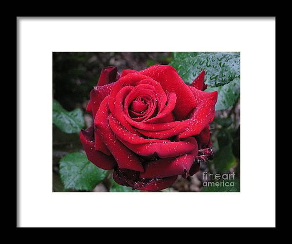 Rose Framed Print featuring the photograph Icy Rose by Louise Magno