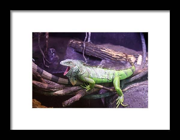 Iguana Framed Print featuring the photograph Iguana 339 by Joyce StJames