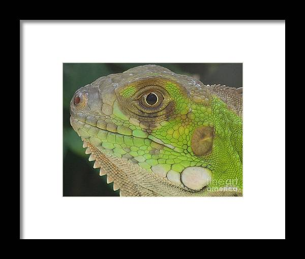 Green Iguana Island Nature Reptiles Framed Print featuring the pyrography Iguana by Heather Fiedler