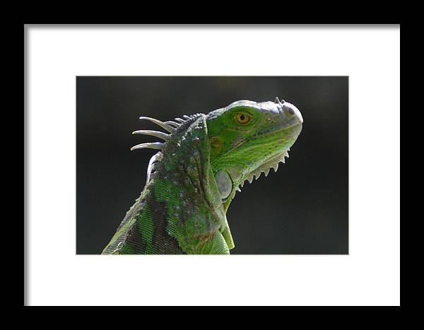 Green Framed Print featuring the photograph Iguana by Lenin Caraballo