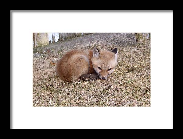 Fox Framed Print featuring the photograph I'll Wait Here For Mom by Maureen Beaudet