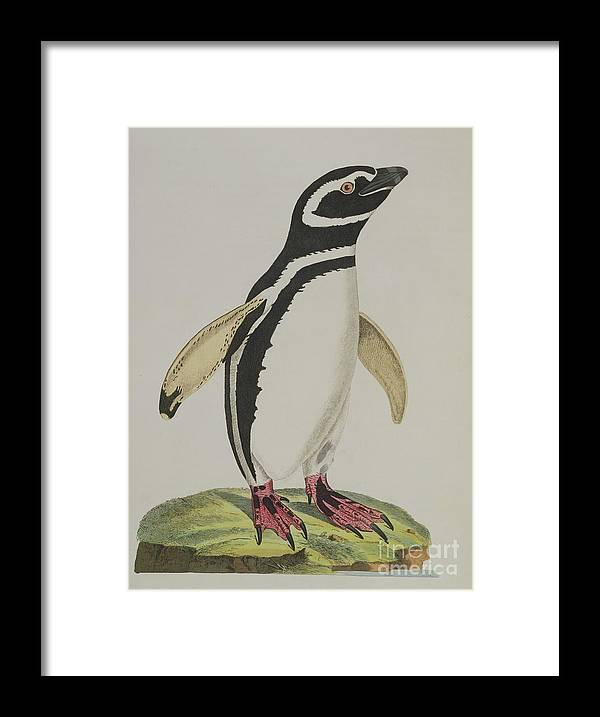 Penguin Framed Print featuring the painting Illustration Of A Penguin by John Frederick Miller