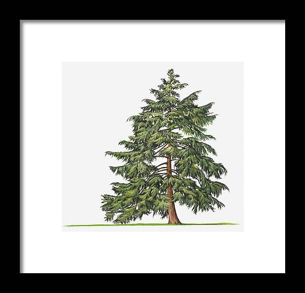Horizontal Framed Print featuring the digital art Illustration Of Evergreen Tsuga Canadensis (eastern Hemlock, Canadian Hemlock) Tree by Sue Oldfield
