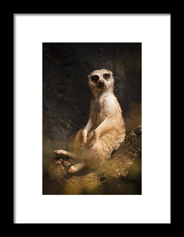 Meerkat Framed Print featuring the photograph I'm A Little Lazy by Chad Davis