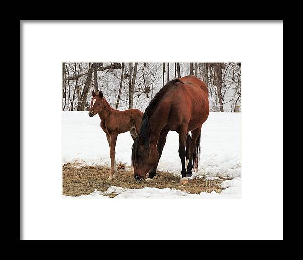 New Foal Vermont Farming Horses Framed Print featuring the photograph I'm The Baby by Karen Velsor