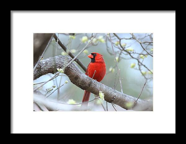 Northern Cardinal Framed Print featuring the photograph Img_0999-001 - Northern Cardinal by Travis Truelove