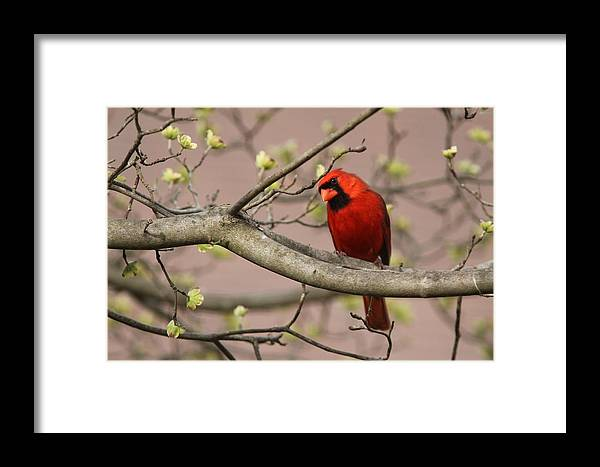Northern Cardinal Framed Print featuring the photograph Img_1180-001 - Northern Cardinal by Travis Truelove
