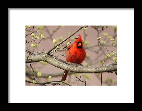 Northern Cardinal Framed Print featuring the photograph Img_1211-001 - Northern Cardinal by Travis Truelove