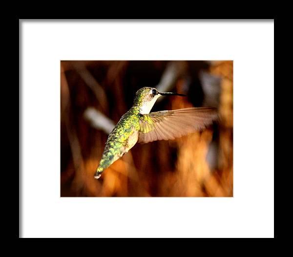 Ruby-throated Hummingbird Framed Print featuring the photograph Img_4625 - Ruby-throated Hummingbird by Travis Truelove