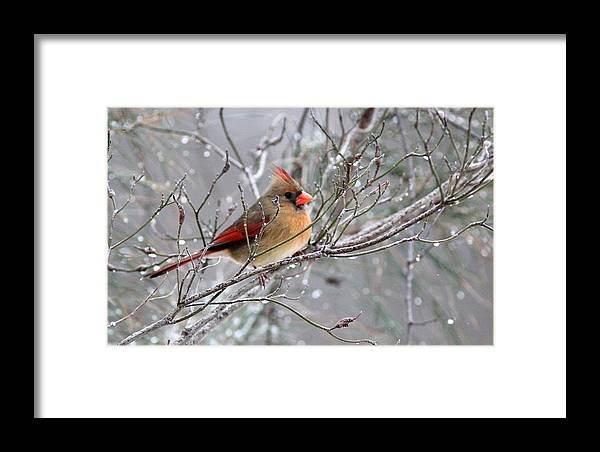 Northern Cardinal Framed Print featuring the photograph Img_6770 - Northern Cardinal by Travis Truelove