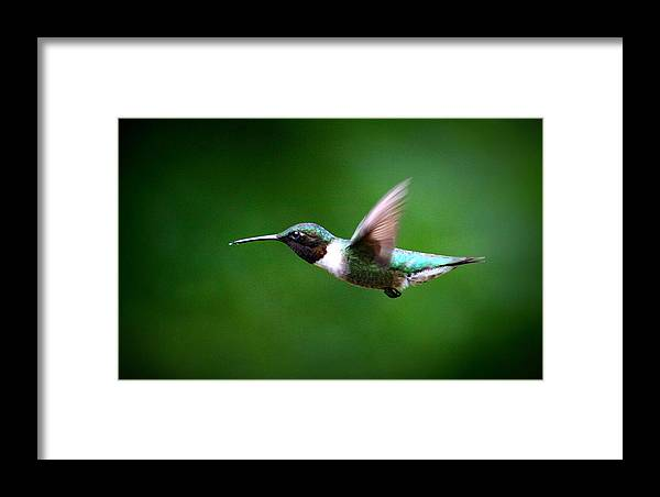 Ruby-throated Hummingbird Framed Print featuring the photograph Img_7668-003 - Ruby-throated Hummingbird by Travis Truelove