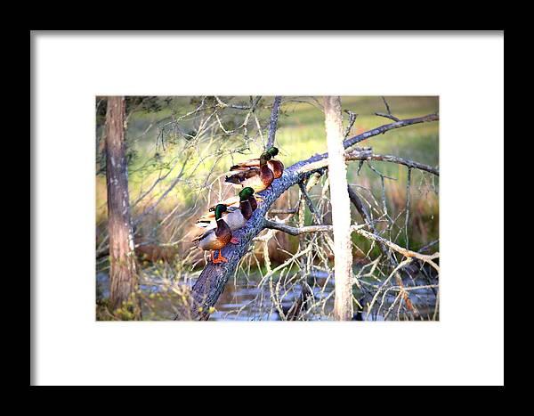 Mallard Framed Print featuring the photograph Img_8884-002 - Mallard by Travis Truelove