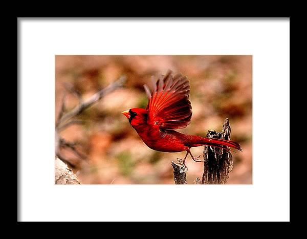 Northern Cardinal Framed Print featuring the photograph Img_8892 - Northern Cardinal by Travis Truelove