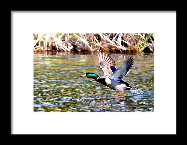 Mallard Framed Print featuring the photograph Img_8981-002 - Mallard by Travis Truelove