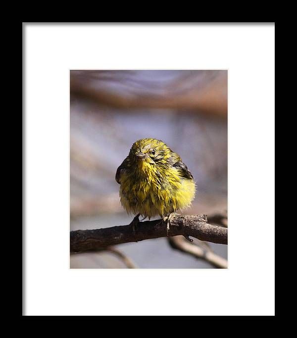 Pine Warbler Framed Print featuring the photograph Img_9853 - Pine Warbler - Very Wet by Travis Truelove