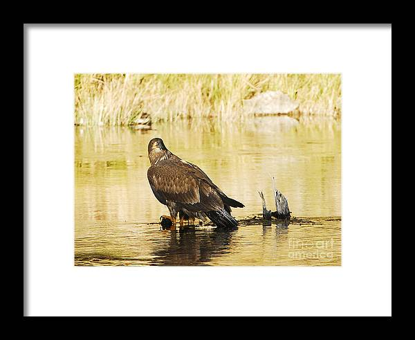 Bird Framed Print featuring the photograph Immature Bald Eagle by Dennis Hammer