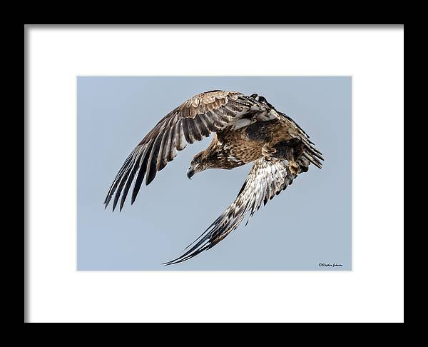 Bald Eagle Framed Print featuring the photograph Immature Bald Eagle Leaving A Perch by Stephen Johnson