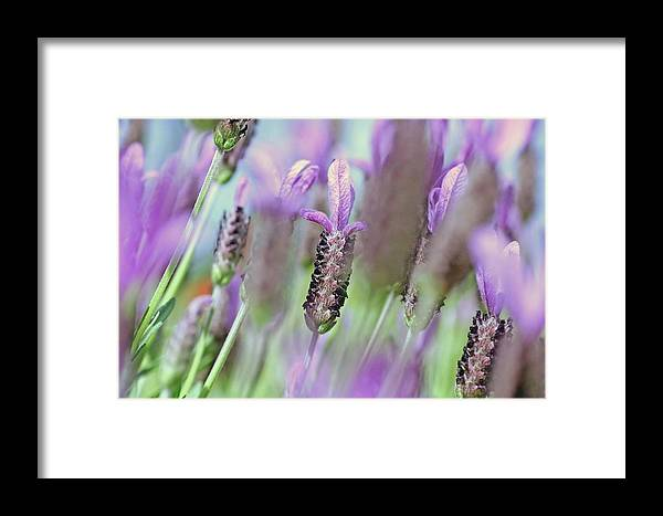 Plants Framed Print featuring the photograph Impressionist Lavender by Tony Brown