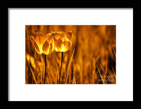 Tulips Framed Print featuring the photograph In A Perfect World by Jacky Gerritsen