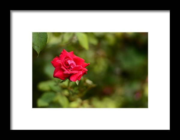 Rose Framed Print featuring the photograph In Bloom by Angela Resendez
