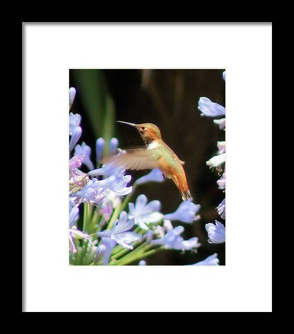 Hummingbird Framed Print featuring the photograph In Flight by Ellen Lerner ODonnell
