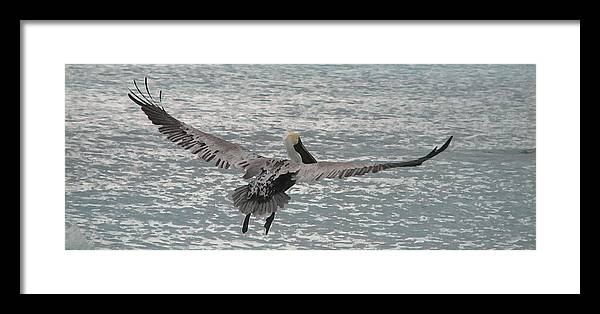 Pelican Framed Print featuring the photograph In Flight by Ginger Howland
