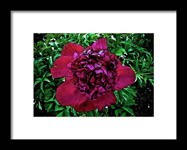 Peony Framed Print featuring the photograph In My Garden by Pam Ellis