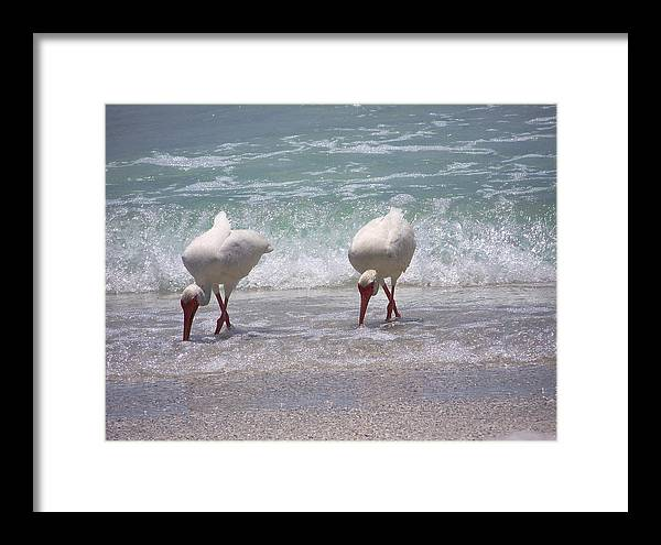 White Ibis Framed Print featuring the photograph In Paired by Amanda Vouglas