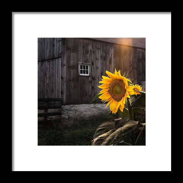 Sunflower Framed Print featuring the photograph In The Light by Bill Wakeley
