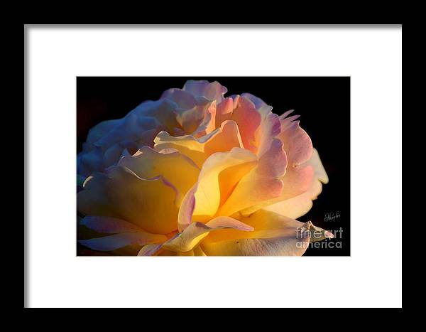 Rose Framed Print featuring the photograph In The Morning Light by Sharon Johnston