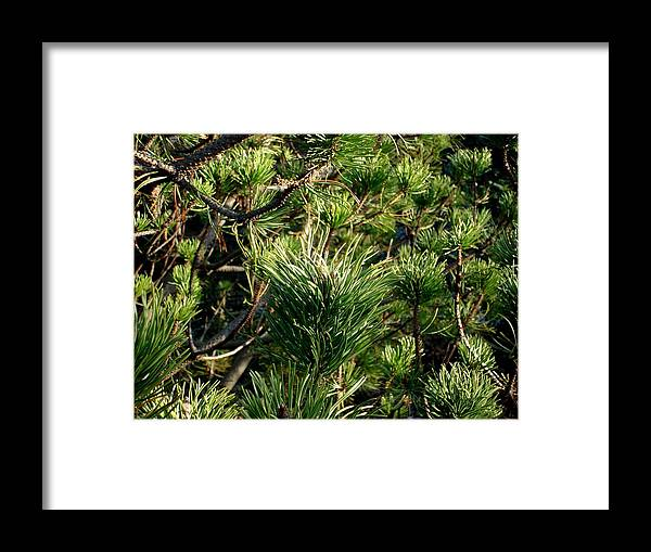 Nature Framed Print featuring the photograph In The Pines by Marilynne Bull