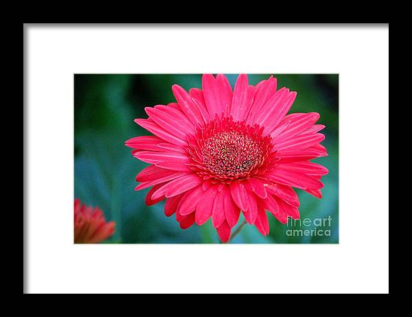 Gerber Daisy Framed Print featuring the photograph In The Pink by Debbi Granruth