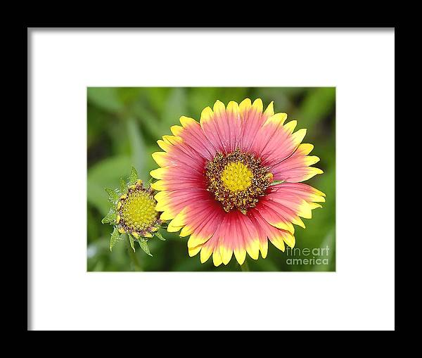 Indian Paintbrush Framed Print featuring the photograph Indian Paintbrush by David Lee Thompson