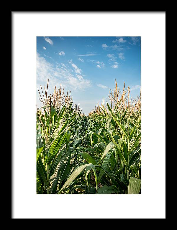 Indiana Corn Row by Anthony Doudt