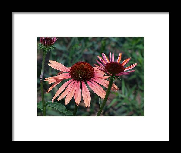 Coneflower Framed Print featuring the photograph Indigenous Beauty by Vijay Sharon Govender