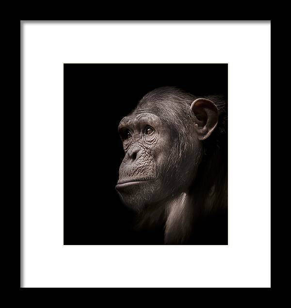 Chimpanzee Framed Print featuring the photograph Indignant by Paul Neville