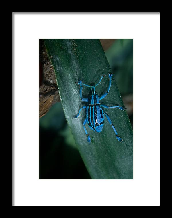 Weevil Framed Print featuring the photograph Indigo Blue Weevil by Douglas Barnett