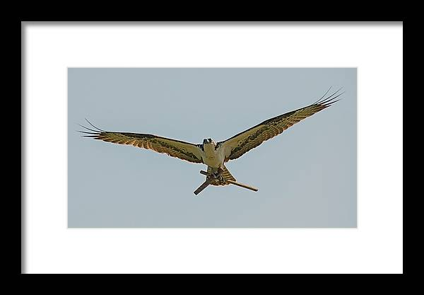 Loree Johnson Photography Framed Print featuring the photograph Industrious Osprey by Loree Johnson