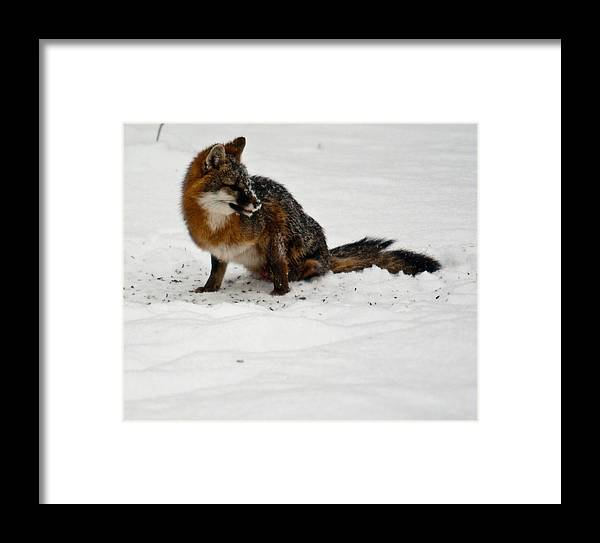 Fox Framed Print featuring the photograph Intent Red Fox by Douglas Barnett