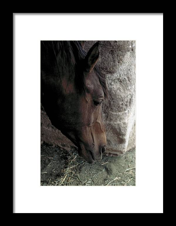 Horse Framed Print featuring the photograph Introspection by Lynard Stroud