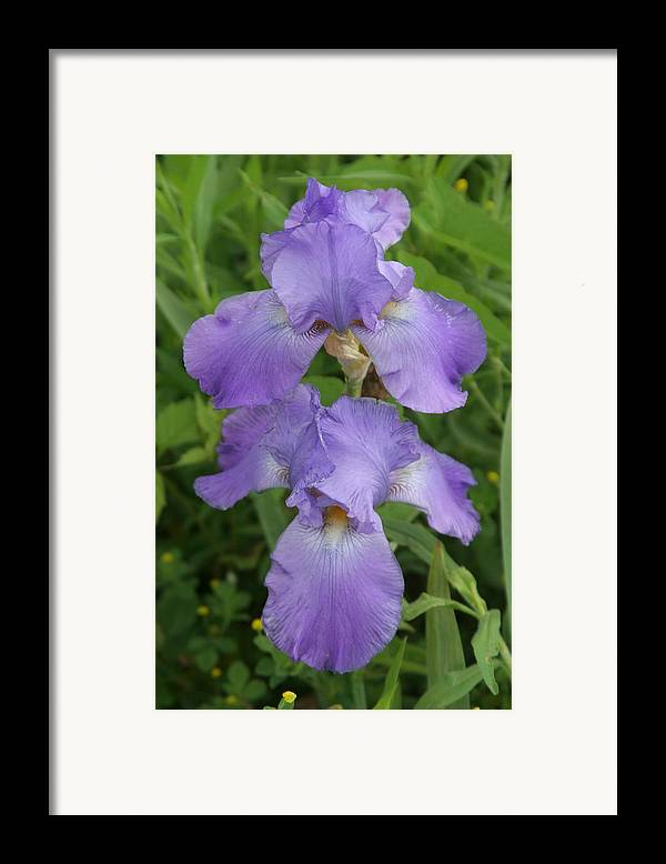 Iris Framed Print featuring the photograph Iris After Rain by George Ferrell