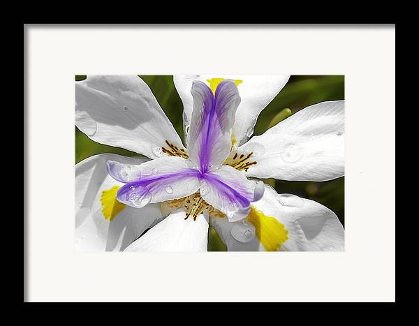 Flower Framed Print featuring the photograph Iris An Explosion Of Friendly Colors by Christine Till