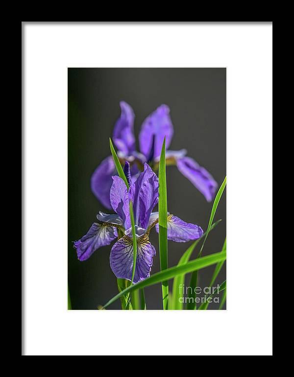 Beautiful Framed Print featuring the photograph Iris by Bella Linzilong