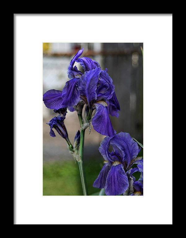Iris Framed Print featuring the photograph Iris by Christina Durity