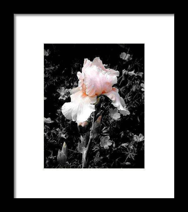 Flower Framed Print featuring the photograph Iris Emergance by Steve Karol