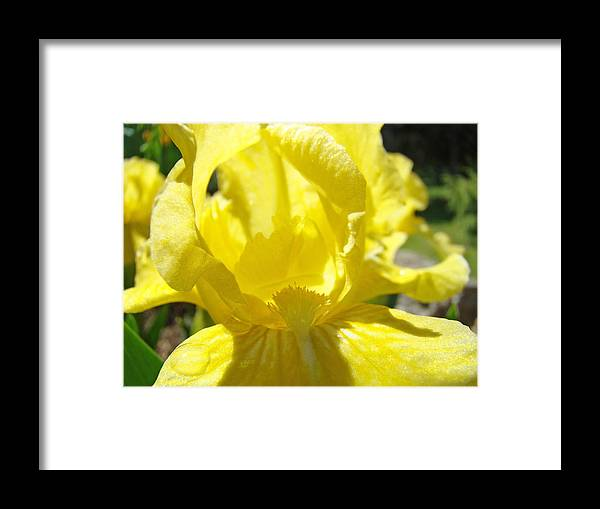 �irises Artwork� Framed Print featuring the photograph Iris Flower Yellow Macro Close Up Irises 30 Sunlit Iris Art Print Baslee Troutman by Baslee Troutman