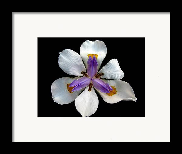 Flower Framed Print featuring the photograph Iris For Easter by PJ Cloud