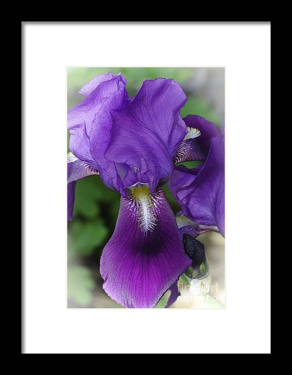 Iris Framed Print featuring the photograph Iris In The Mist by Christine Belt
