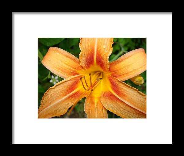 Nature Framed Print featuring the photograph Iris In The Morning by Mary Halpin